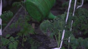 Καλλιέργεια, κηπουρική, γεωργία και έννοια ανθρώπων - το ανώτερο άτομο με το πότισμα μπορεί στο αγροτικό θερμοκήπιο απόθεμα βίντεο