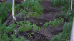 Καλλιέργεια, κηπουρική, γεωργία και έννοια ανθρώπων - το ανώτερο άτομο με το πότισμα μπορεί στο αγροτικό θερμοκήπιο φιλμ μικρού μήκους