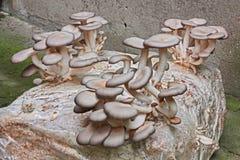 Καλλιέργεια μανιταριών ostreatus Pleurotus Στοκ εικόνα με δικαίωμα ελεύθερης χρήσης
