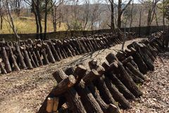 Καλλιέργεια μανιταριών Shiitake Στοκ φωτογραφία με δικαίωμα ελεύθερης χρήσης