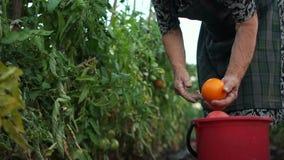 καλλιέργεια οργανική Οι αγρότες συγκομίζουν τις ντομάτες με το χέρι Υγιής διατροφή, λαχανικά ανάπτυξης γεωργίας απόθεμα βίντεο