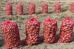Καλλιέργεια πατατών στοκ εικόνες με δικαίωμα ελεύθερης χρήσης