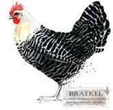 Καλλιέργεια πουλερικών Σειρά φυλών κοτόπουλου εσωτερικό αγροτικό πουλί στοκ φωτογραφίες
