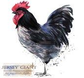 Καλλιέργεια πουλερικών Σειρά φυλών κοτόπουλου εσωτερικό αγροτικό πουλί απεικόνιση αποθεμάτων