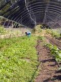 Καλλιέργεια - που τείνει τις συγκομιδές στοκ φωτογραφίες