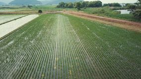 Καλλιέργεια ρυζιού απόθεμα βίντεο