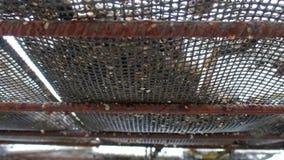 Καλλιέργεια στρειδιών και παγίδες στρειδιών, επιπλέουσες τσάντες πλέ απόθεμα βίντεο