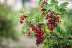 Καλλιέργεια της κόκκινης σταφίδας στον κήπο Στοκ Εικόνα