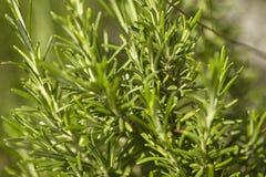 Καλλιέργεια της Rosemary στοκ φωτογραφία με δικαίωμα ελεύθερης χρήσης