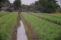 Καλλιέργεια τομέων χλόης λεμονιών, Ταϊλάνδη Στοκ Φωτογραφία