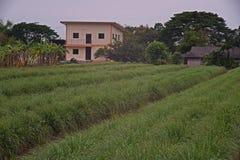 Καλλιέργεια τομέων χλόης λεμονιών, Ταϊλάνδη Στοκ Εικόνες