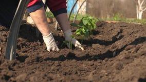 Καλλιέργεια του αγρότη ντοματών Τα σπορόφυτα ντοματών φυτεύονται στη φυτεία την άνοιξη Νεαρός βλαστός που φυτεύεται πράσινος απόθεμα βίντεο
