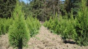 Καλλιέργεια του thuja και του ιουνιπέρου Σειρές των σποροφύτων thuja Φυτεία του thuya απόθεμα βίντεο