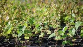 Καλλιέργεια των δέντρων πεύκων από τα σπορόφυτα που προέρχονται από τους σπόρους Αυξανόμενο πεύκο απόθεμα βίντεο