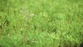 Καλλιέργεια των δέντρων πεύκων από τα σπορόφυτα που προέρχονται από τους σπόρους Νέοι νεαροί βλαστοί απόθεμα βίντεο
