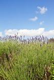 καλλιέργεια lavender UK του Τζέρ&sigm Στοκ φωτογραφία με δικαίωμα ελεύθερης χρήσης