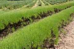 καλλιέργεια lavender UK του Τζέρ&sigm Στοκ εικόνα με δικαίωμα ελεύθερης χρήσης