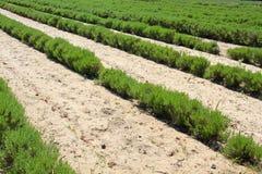 καλλιέργεια lavender UK του Τζέρ&sigm Στοκ εικόνες με δικαίωμα ελεύθερης χρήσης