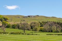 Καλλιεργήσιμα εδάφη του Ayrshire βουνοπλαγιών και της Σκωτίας βράχων Cauld με τα νέα αρνιά, τους δενδρώδεις φράκτες και έναν μπλε στοκ φωτογραφία με δικαίωμα ελεύθερης χρήσης