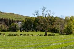 Καλλιεργήσιμα εδάφη του Ayrshire της Σκωτίας με τα νέα αρνιά, τους δενδρώδεις φράκτες και έναν μπλε ουρανό πίσω από Largs στοκ φωτογραφία με δικαίωμα ελεύθερης χρήσης