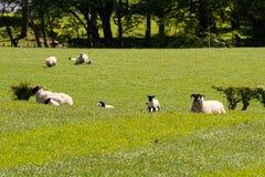 Καλλιεργήσιμα εδάφη του Ayrshire της Σκωτίας με τα νέα αρνιά, τους δενδρώδεις φράκτες και έναν μπλε ουρανό πίσω από Largs στοκ εικόνες