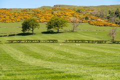 Καλλιεργήσιμα εδάφη του Ayrshire της Σκωτίας με τα νέα αρνιά, τους δενδρώδεις φράκτες, κίτρινο ανθισμένο Whin και έναν μπλε ουραν στοκ εικόνες