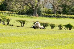 Καλλιεργήσιμα εδάφη του Ayrshire της Σκωτίας με τα νέα αρνιά, τους δενδρώδεις φράκτες και έναν μπλε ουρανό πίσω από Largs στοκ εικόνες με δικαίωμα ελεύθερης χρήσης