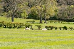 Καλλιεργήσιμα εδάφη του Ayrshire της Σκωτίας με τους δενδρώδεις φράκτες νέους - γεννημένα αρνιά που στηρίζονται στην ηλιοφάνεια στοκ εικόνες
