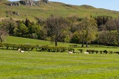 Καλλιεργήσιμα εδάφη του Ayrshire της Σκωτίας με τους δενδρώδεις φράκτες νέους - γεννημένα αρνιά που στηρίζονται στην ηλιοφάνεια στοκ φωτογραφίες