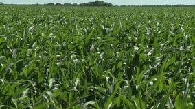 Καλλιεργήσιμο έδαφος με το καλαμπόκι που ωριμάζει στο θερινό ήλιο, απόθεμα βίντεο