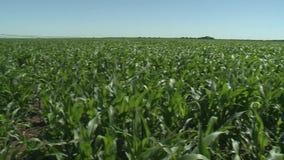 Καλλιεργήσιμο έδαφος με το καλαμπόκι που ωριμάζει στο θερινό ήλιο, φιλμ μικρού μήκους