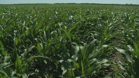 Καλλιεργήσιμο έδαφος με το καλαμπόκι που ωριμάζει στο θερινό ήλιο φιλμ μικρού μήκους