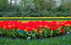 καλλιεργεί keukenhof lisse Κάτω Χώρε&sig Στοκ Φωτογραφία