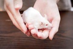 Καλλιεργημένα χέρια του παιδιού που κρατούν το αρκετά χαριτωμένο άσπρο εργαστηριακό ποντίκι στοκ φωτογραφία