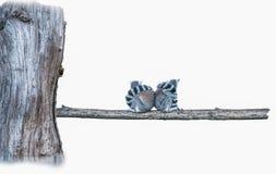 Καλλιεργημένη κερκοπίθηκοι αγάπη Στοκ Εικόνες