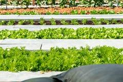 Καλλιεργημένος τομέας της σαλάτας στη σειρά Στοκ φωτογραφίες με δικαίωμα ελεύθερης χρήσης