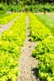 Καλλιεργημένος τομέας: φρέσκες πράσινες σειρές κρεβατιών σαλάτας Στοκ Φωτογραφίες