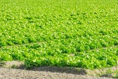 Καλλιεργημένος τομέας: φρέσκες πράσινες σειρές κρεβατιών σαλάτας Στοκ Εικόνα