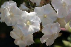 Καλλιεργημένο λουλούδι μιας κινηματογράφησης σε πρώτο πλάνο phlox Στοκ εικόνες με δικαίωμα ελεύθερης χρήσης