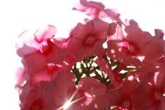 Καλλιεργημένο λουλούδι μιας κινηματογράφησης σε πρώτο πλάνο phlox Στοκ Φωτογραφίες
