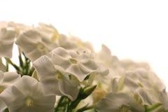 Καλλιεργημένο λουλούδι μιας κινηματογράφησης σε πρώτο πλάνο phlox Στοκ φωτογραφίες με δικαίωμα ελεύθερης χρήσης