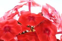 Καλλιεργημένο λουλούδι μιας κινηματογράφησης σε πρώτο πλάνο phlox Στοκ φωτογραφία με δικαίωμα ελεύθερης χρήσης