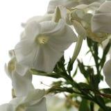 Καλλιεργημένο λουλούδι μιας κινηματογράφησης σε πρώτο πλάνο phlox Στοκ Εικόνες