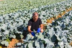 Καλλιεργώντας άτομο με την οργανική σαλάτα σε έναν φυτικό κήπο φως του ήλιου, διάστημα αντιγράφων Στοκ Φωτογραφίες