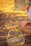 Καλλιεργώντας κορίτσι που παίρνει τα μούρα στοκ εικόνα με δικαίωμα ελεύθερης χρήσης