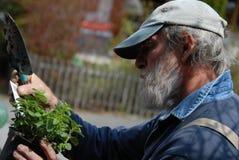 καλλιεργώντας πρεσβύτε& Στοκ φωτογραφία με δικαίωμα ελεύθερης χρήσης