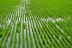 καλλιεργώντας ρύζι Στοκ εικόνα με δικαίωμα ελεύθερης χρήσης
