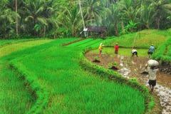 καλλιεργώντας ρύζι Στοκ Εικόνα