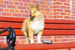 Καλλωπισμός βουρτσών σε ένα τσοπανόσκυλο Shetland στοκ εικόνα με δικαίωμα ελεύθερης χρήσης