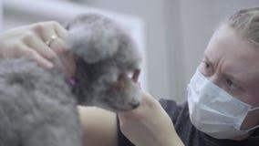Καλλωπισμός ενός μικρού σκυλιού σε ένα σαλόνι κατοικίδιων ζώων Όμορφο poodle φιλμ μικρού μήκους